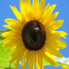 Click here to play Yellow Sunflower