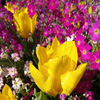Yellow Tulips Jigsaw