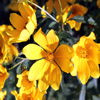 Click here to play Yellow Wildflowers