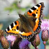 Young Butterfly Jigsaw