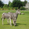 Click here to play Zebra Couple