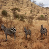 Click here to play Zebra Family