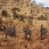 Zebra Family Jigsaw